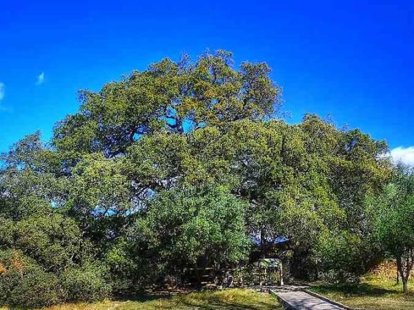 Cuatro emblemáticos árboles de España