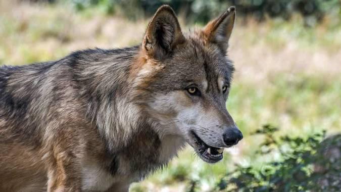 Caminando entre lobos: Lobo Park