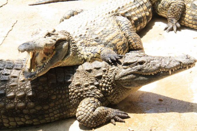 Cocodrilo Park, pasear entre cocodrilos