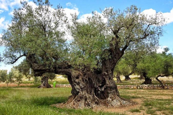 El Museo Natural de Olivos Milenarios del Pou del Mas, en Castellón