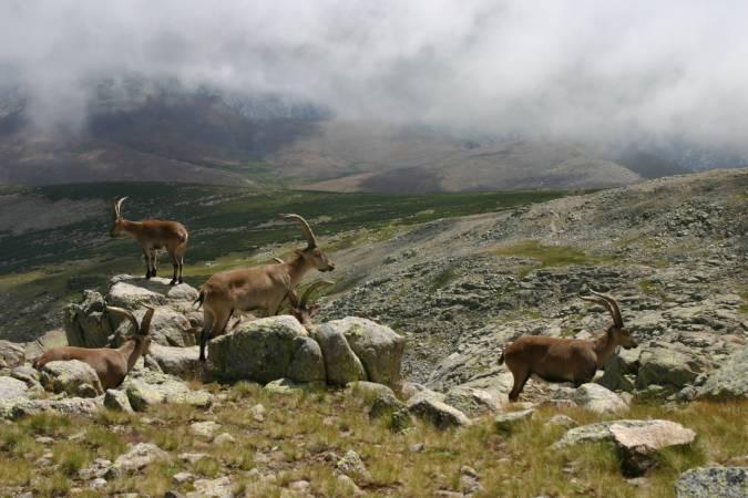 Cabras montesas en la Sierra deGredos, en Ávila