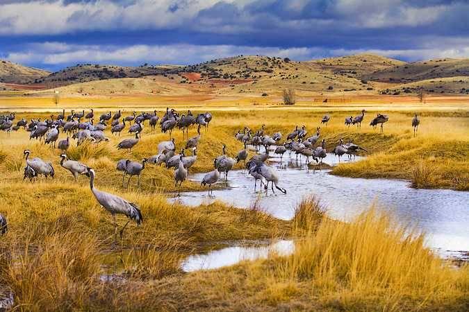 Grullas en la Laguna de Gallocanta, en Zaragoa