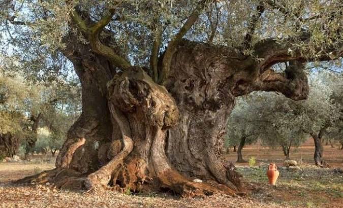 Olivo centenario en Jaén