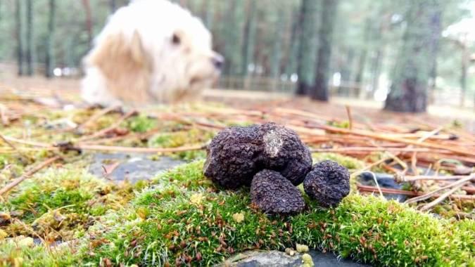 Búsqueda de trufas silvestres con perro